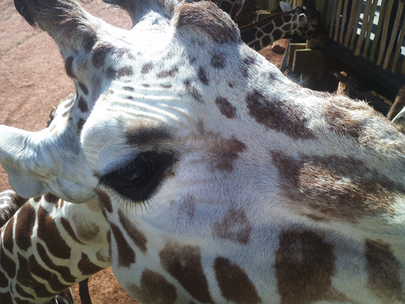 02.19.13 Giraffe