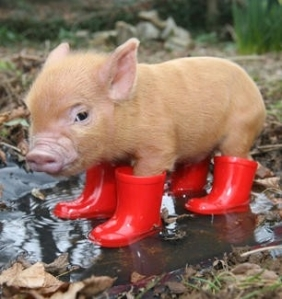 Intelligent-Teacup-Piglet-Large-Image