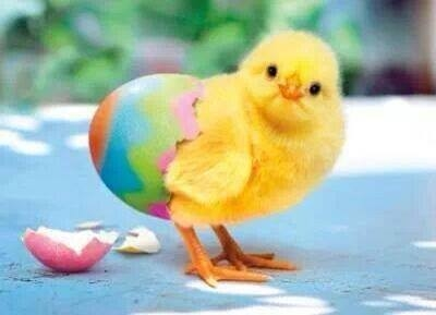81439-new-baby-chick